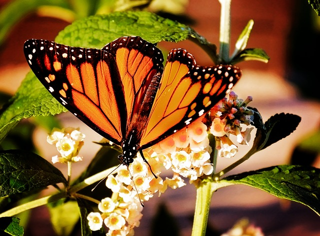 Monarch butterflies - Mexico