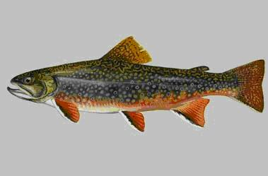 Appalachia Brook Trout